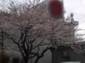 10.4.2013 桜花 #1