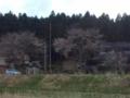10.4.2013 桜花 #2