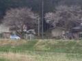 10.4.2013 桜花 #3