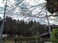 10.4.2013 桜花 #4