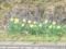 10.4.2013 水仙 #2