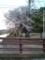 12.4.2013 桜花 #1