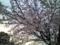 12.4.2013 桜花 #2