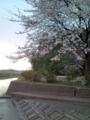 12.4.2013 桜花 #3
