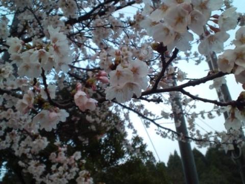 12.4.2013 桜花 #4