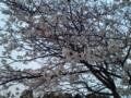 12.4.2013 桜花 #5