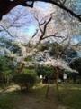 15.4.2014 小丸山公園 #5