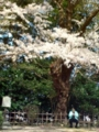 15.4.2014 小丸山公園 #6