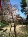 15.4.2014 小丸山公園 #10