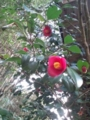 11.4.2015 実家の椿の花