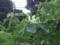 20.5.2015 ホオノキの花
