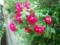 2.6.2015 薔薇