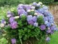 29.6.2016 紫陽花