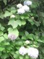 3.7.2016 実家の紫陽花 #2