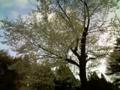 25.4.2017 山桜 #1