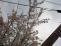 5.4.2018 桜花 #2