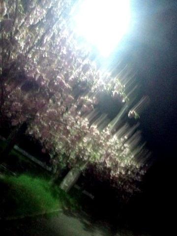 27.4.2018 夜桜風味の八重桜 #1