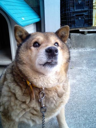 実家の犬.たぷたぷ