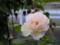 庭の花 ばら