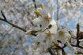 桜定点観測_130413