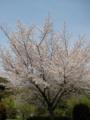 桜定点観測_130414