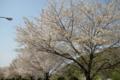 桜定点観測_130415