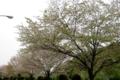 桜定点観測_130417