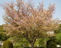 桜定点観測_130418