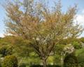 桜定点観測_130419