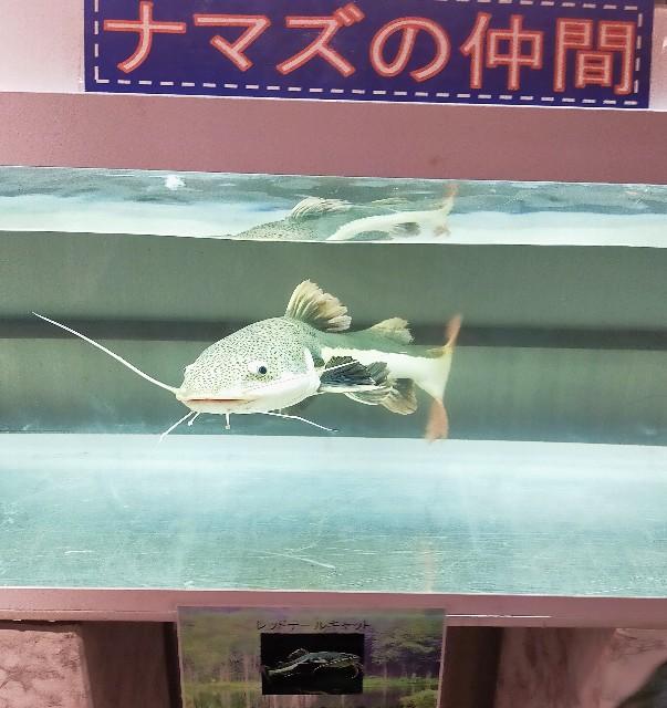 水族館の人気者の可愛い魚のなまずの仲間のレッドテールキャット