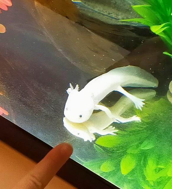 わくわく水族館の可愛いの白いのウーパールーパー
