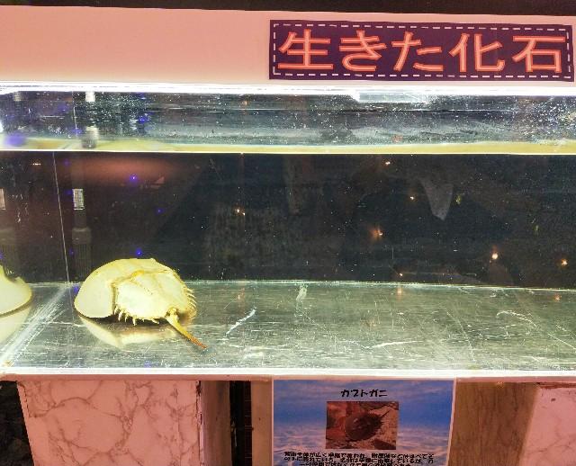 わくわく水族館のふれあいコーナーの珍しい種類のカブトガニ