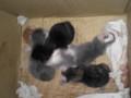 [猫]段ボール箱中に、のら猫が、子猫を4匹産み落としていた。