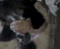 [猫]段ボール箱中に、のら猫が、子猫を4匹産み落としていた。(動画)