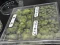 アロマホップ、ビターホップ、毬花