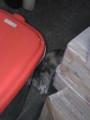 [猫]子猫が玄関を訪問。