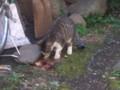 [猫]何かをこそげ取りながら、食べる子猫