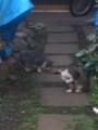 [猫]子猫の兄弟