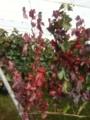 紅葉しているのは、メルロー@登美の丘ワイナリー