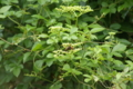 スズメバチ_20120916