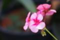 [花]ゼラニウム_121110