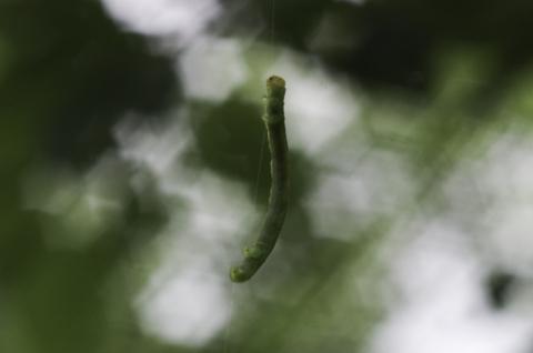 [聖崎公園][シャクトリムシ][尺取虫][昆虫][幼虫]