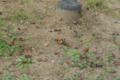 ツマグロヒョウモン_140923-3