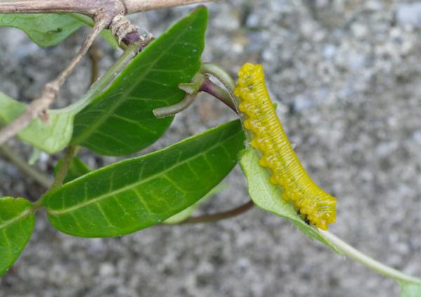 チャイロハバチ