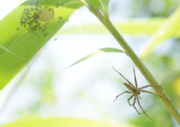 アズマキシダグモ