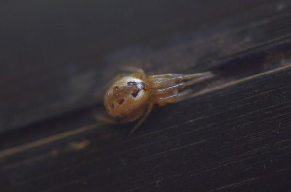 アシブトヒメグモ