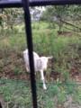 寄ってきたヤギ