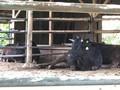 小野路の牛