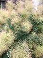 ケサランパサラン植物