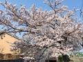 住吉町の桜